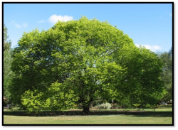 درخت ملج